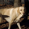 BARNI (yellow lab girl).jpg