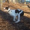 MAGGIE (foxhound bc mix).jpg