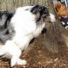 ELI (new australian shepherd boy), ROCKY.jpg
