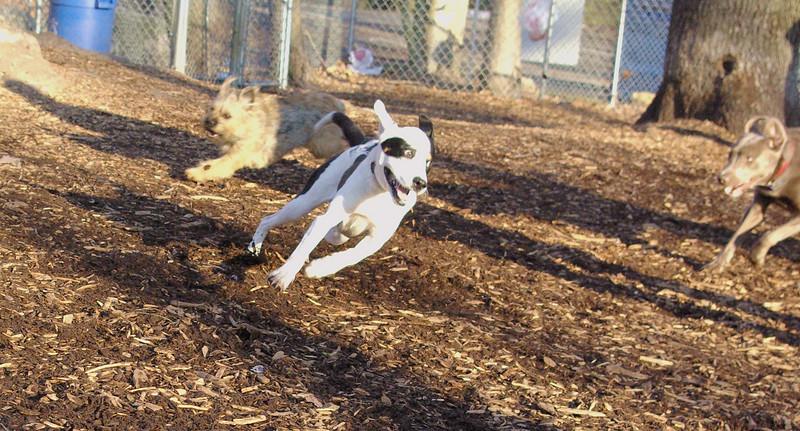 MAGGIE (foxhound, border collie) new  4.jpg