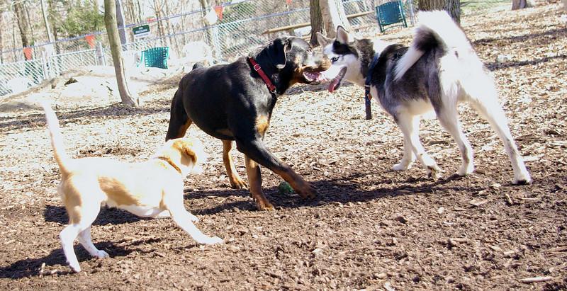 MAX (husky) & EUBIE (rottie boy) 3.jpg