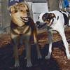 MAGGIE (foxhound, border collie) new, Maddie.jpg