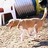 CODY (beagle, new).jpg