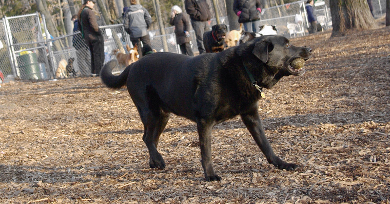 MAX (wendy, black lab)