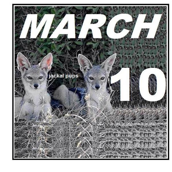 silver-backed-jackal pups