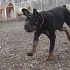 EUBIE (rottweiler  pup)