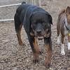 Eubie (rottweiler  pup), Shamus (basenji)