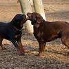 Eubie (rottweiler  pup), Henna ( choc. lab)
