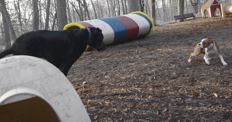 Harley (great dane), Bubba (boxer pup) 1