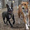 Mickey (boston terrier), Chloe (basenji) 2