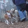 TAYTA (basenji) & Bailey ( new boy)
