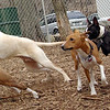 Mickey (boston terrier), Chloe (basenji)