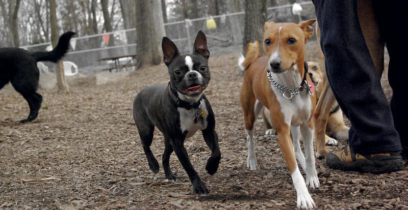 Mickey (boston terrier), Chloe (basenji) 1