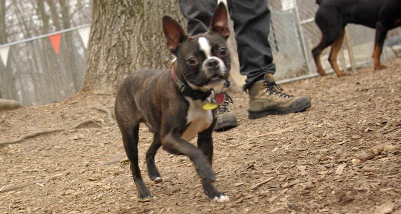 MICKEY (boston terrier)