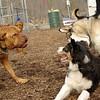 Rocky (french mastiff), Oliver, Simba