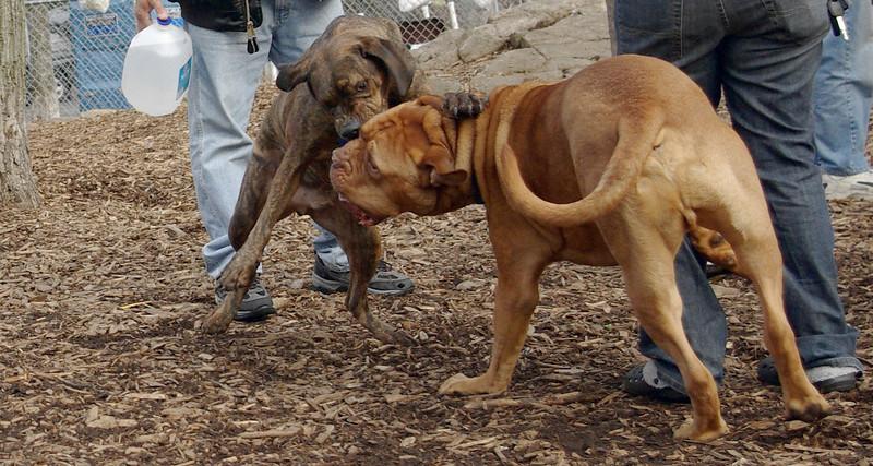 Rocky (french mastiff), Pepper