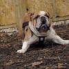 BEN (new, Bulldog, agile)