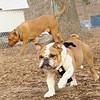 BEN (new, Bulldog, agile).jpg