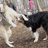 OLIVER & SIMBA (husky)