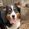OLIVER (australian shepherd boy).JPG