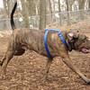 PEPPER (plotts hound).jpg