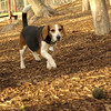 beagle (abbie - golden & beagles).jpg