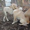 HAZEL (new golden puppy).jpg