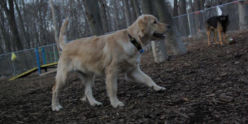 HAZEL ( new golden puppy) 77.JPG