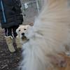 HAZEL ( new golden puppy).JPG