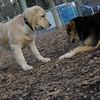 HAZEL ( new golden puppy), maddie 2.JPG