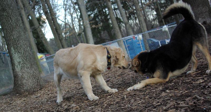 HAZEL ( new golden puppy), maddie 3.JPG