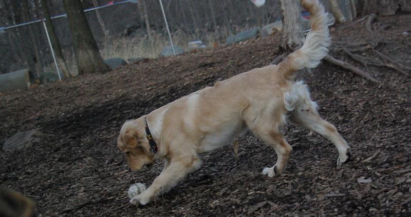 HAZEL ( new golden puppy) 11.JPG