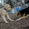 HAZEL ( new golden puppy), maddie 1.JPG