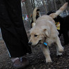 HAZEL ( new golden puppy) 8 (2).JPG