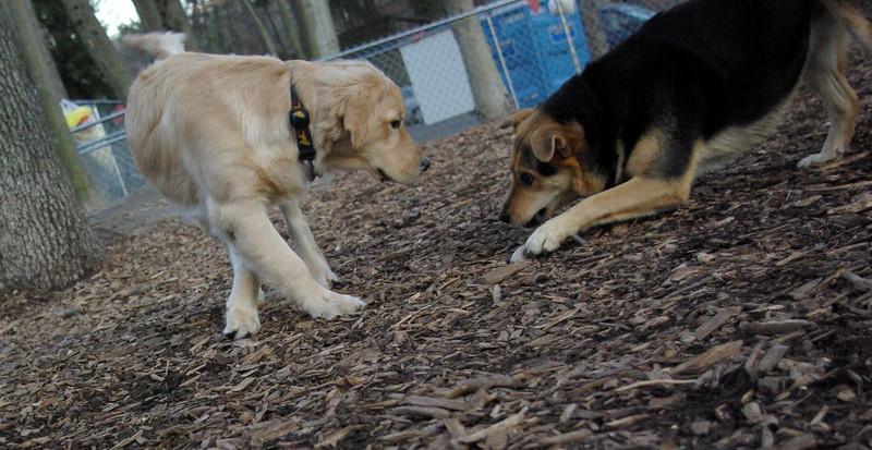 HAZEL ( new golden puppy) 9.JPG