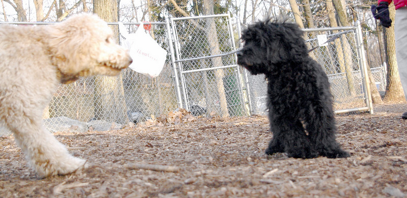 COLBY (new, cockapoo pup) & MOLLY (pup).jpg