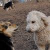 MADDIE (indiana stockdog), MOLLY (new young).jpg