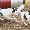 GUS GUS (japanese chin, beagle), Marley (aussie).jpg