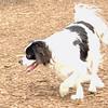 GUS GUS (japanese chin, beagle).jpg