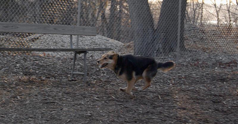 MADDIE (indiana stockdog) 2.jpg