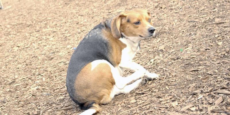 CHELSEA (beagle).jpg