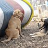 PENNY (new), Maddie (stockdog) 4.jpg