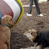PENNY (new), Maddie (stockdog) 3.jpg