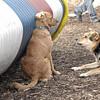 PENNY (new), Maddie (stockdog).jpg