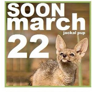 Black backed jackal pup , Canis mesomelas , Ruaha National Park , Tanzania