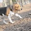 CHELSEA (beagle) 2.jpg