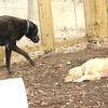 harley (great dane), Hazel ( golden retriever pup).jpg
