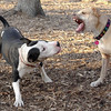 Lucy (pitbull), Bud (bull terrier mix) FRIENDS 2.jpg