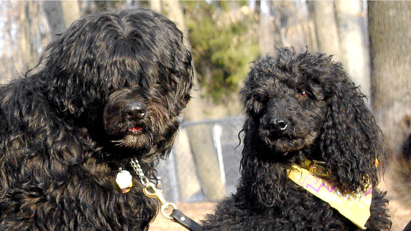 JET, jett  (miniture poodle) moby (portuguese water dog)