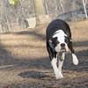 RAFFI (boston terrier)